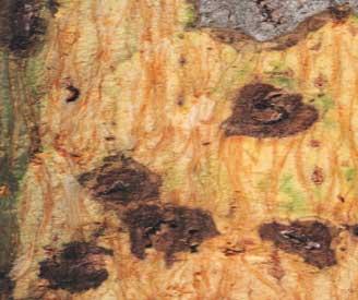 Diseased tree tissues