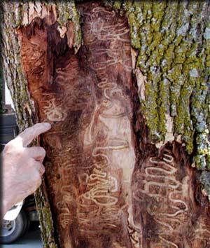 Damage caused by EAB larvae