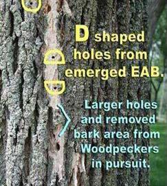 D shape EAB exit holes