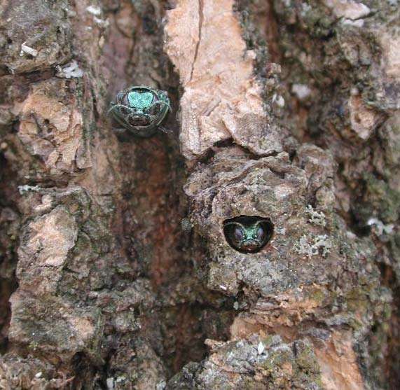 Adult EABs emerging from an Ash tree