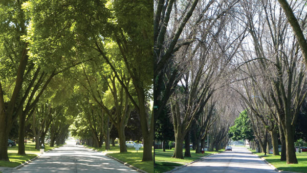 Ash tree die off from EAB, 2006 (left) to 2009 (right)
