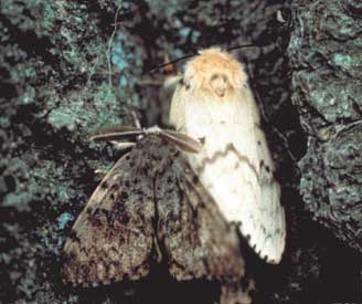 Male (brown) and female (white)