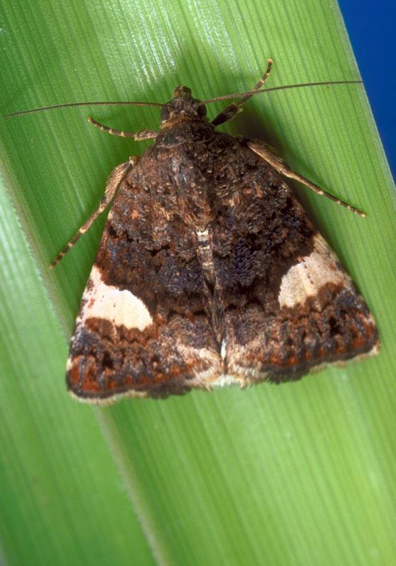 Field bindweed moth
