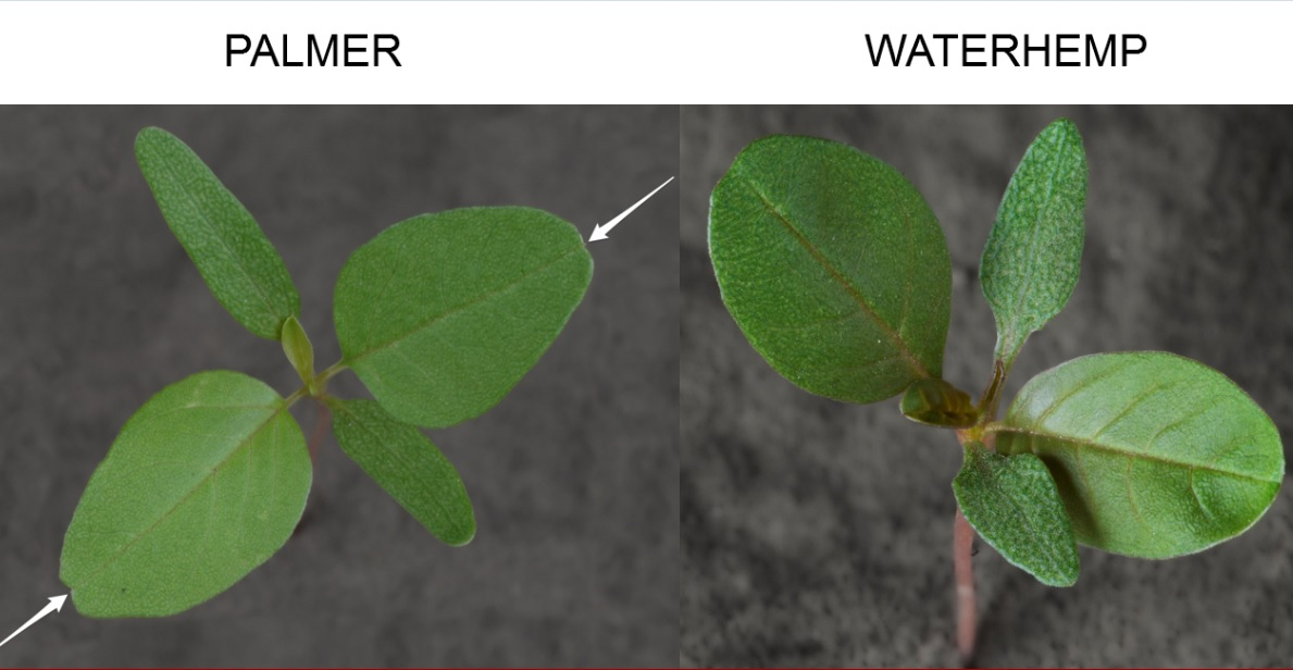 Palmer has long, linear cotyledons and a small notch (with a hair) at the leaf tip