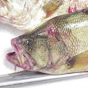 Largemouth Bass Virus