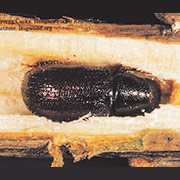 Pine Shoot Beetle