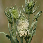 Cutleaf & Common Teasel