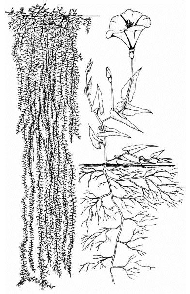 Bindweed root system