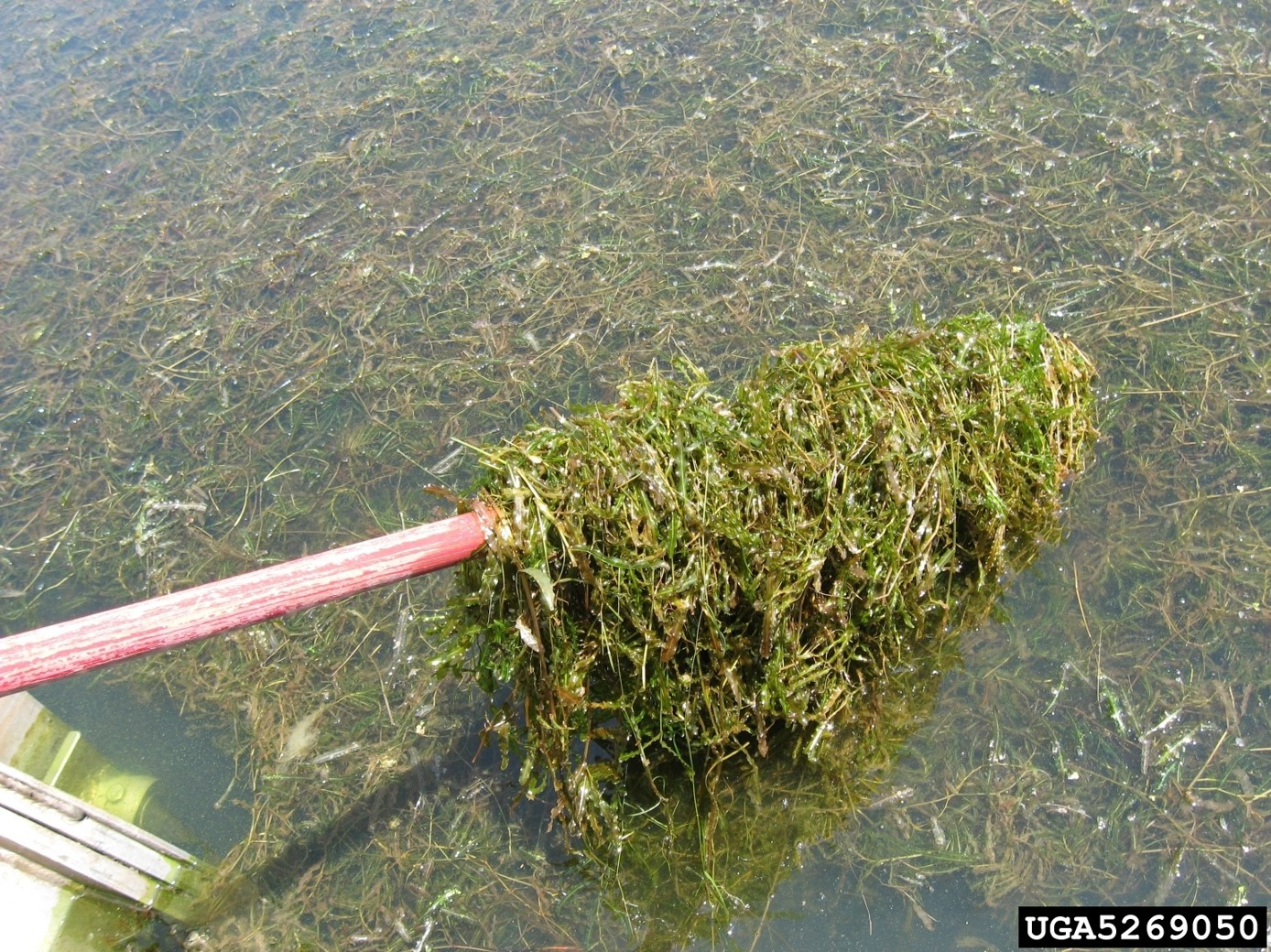 Infestation in a Lake